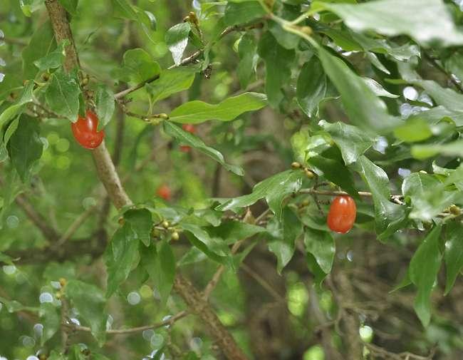 Le cornouiller male 2 flore de senlisse - Arbre murier fruit comestible ...